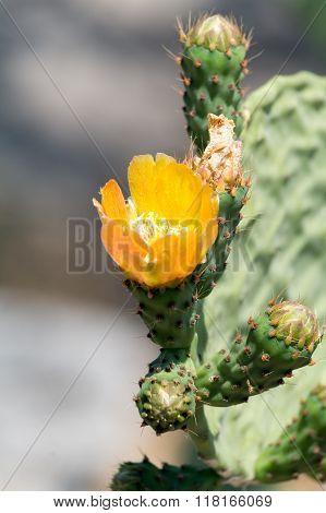 Close-up Of Blooming Beautiful Yellow Cactus Fruits