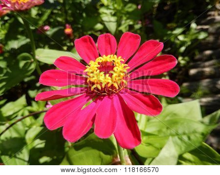 Red daisy flower