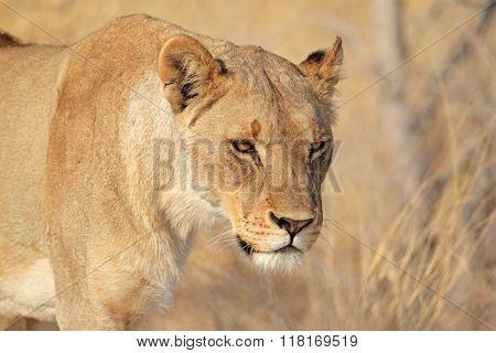 Portrait of a female African lion (Panthera leo), Etosha National Park, Namibia