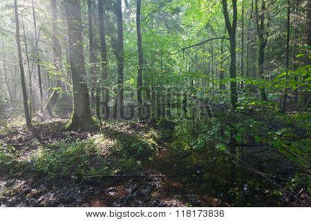 Summertime Sunrise In Wet Stand Of Bialowieza Forest