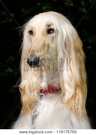 Typical  Old White Afghan Hound In The Room