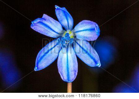 Scilla bifolia wild flower over blak