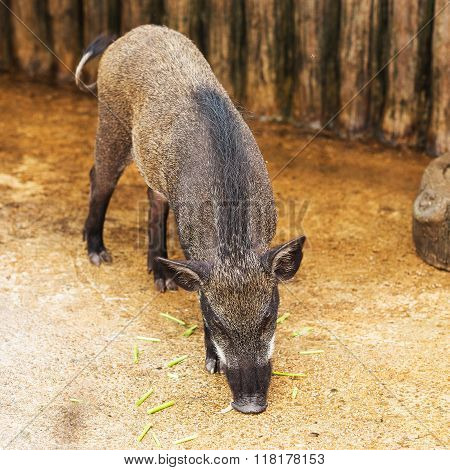 Wild Boar in the evening light in a forest in thailand
