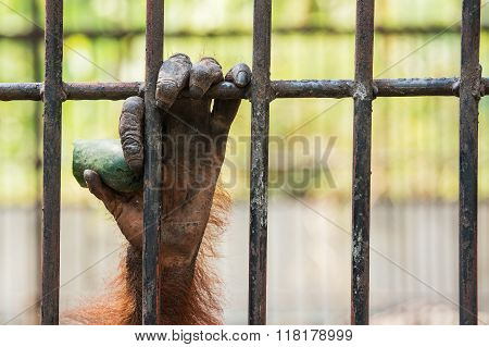 Chimpanzee hand in cage at the zoo.