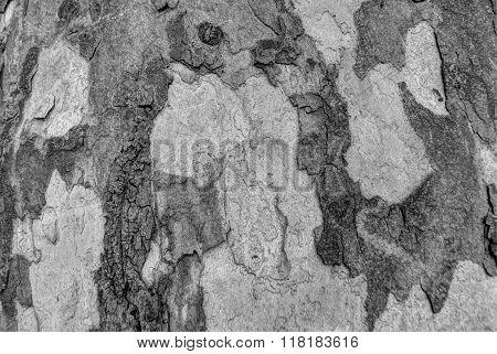 Sycamore bark grey texture