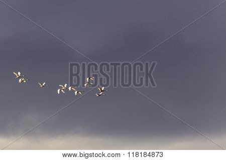 Flock of Swans against storm clouds