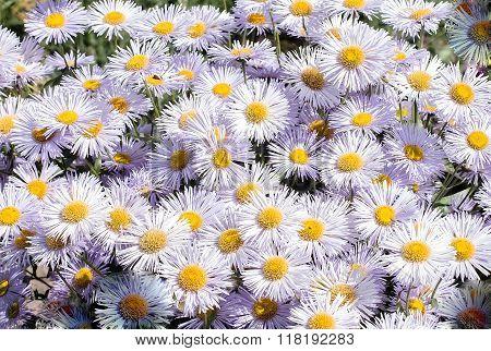 Plants. Flowers Gentle White Daisies