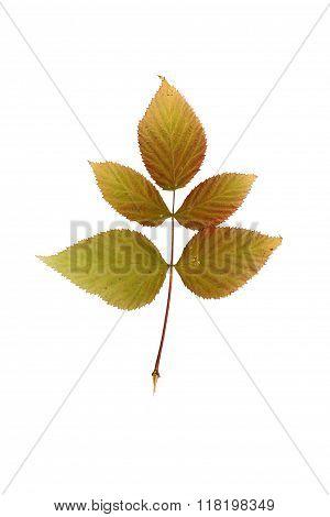Pressed And Dried Leaf Raspberry.