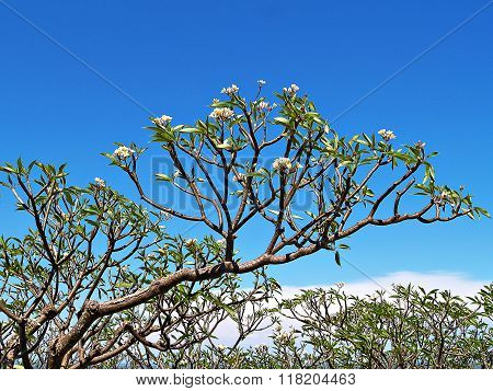 White Plumeria Trees With The Blue Sky (frangipani Flowers, Frangipani, Pagoda Tree Or Temple Tree)