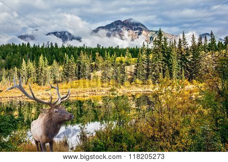 Red deer with branchy horns costs on the bank of charming lake. Jasper National Park in the Rocky Mountains. Multi-color autumn forest are reflected in the lake
