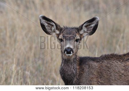 Cute Mule Deer Fawn