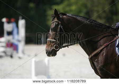 Purebred Horse Canter During Show Jumping Competition