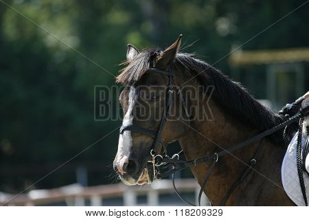 Purebred Horse Portrait During Show Jumping Competition