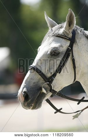 Horse Head Portrait Closeup At Equestrian Show Jumping Training
