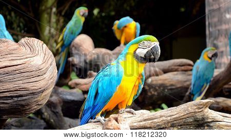 Blue And Yellow Macaw.