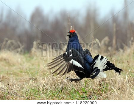 Courtship Display Of Male Black Grouse
