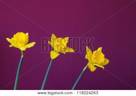 three yellow three yellow jonquil on the burgundy background