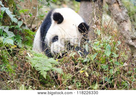 Giant Panda Sleeping the Forest, Chengdu, China