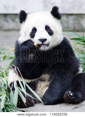 Giant Panda Cub Eating Bamboo, sitting pose, China