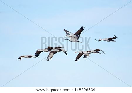 Sandhill Cranes in Flight with Blue Sky Background, Whitewater Draw, Arizona, USA
