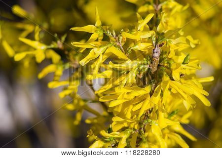 Forsythia Blossom In Early Spring