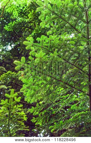 Branch Of A Young Tree In A Forest Of Spruce