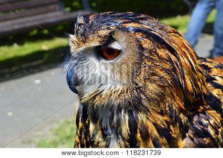 Eurasian eagle owl Latin name Bubo bubo