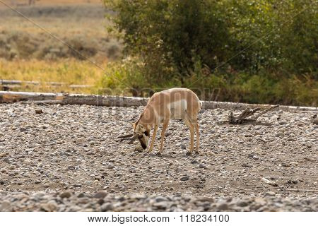 Rutting Pronghorn Antelope buck