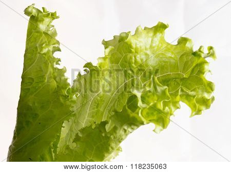 Letucce salad isolated on white background.
