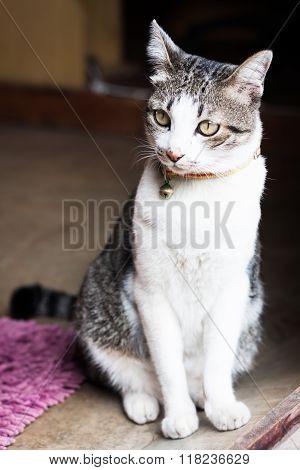 Thai Cat Sitting At Home