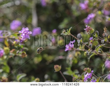 Bee In Flight Among The Flowers Lantany