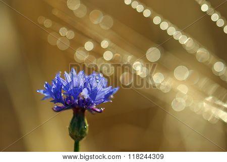 Cornflower cornflower on a nice background