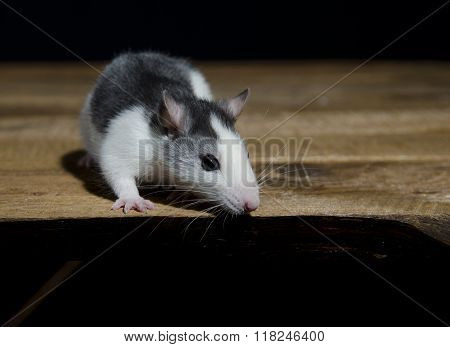 Young Decorative Rat.