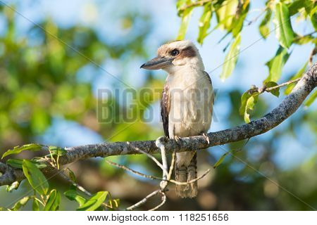 Laughing Kookaburra sitting in a tree, Australia