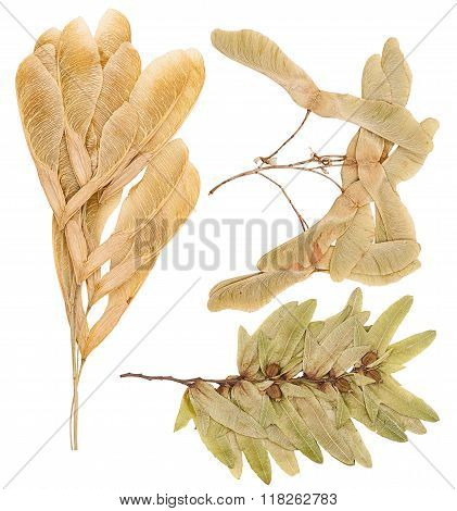 Seeds Of Various Maple Trees