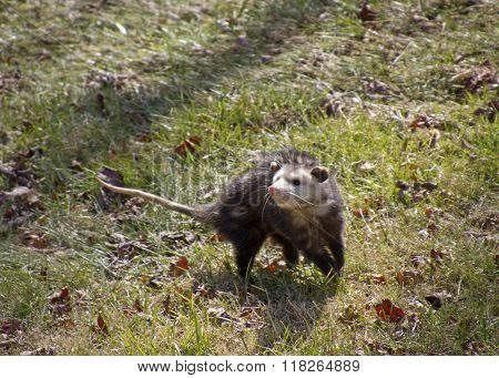 Opossum Sniffing For Danger