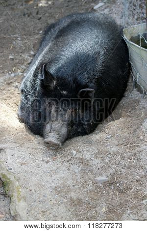 Auckland Island Pig
