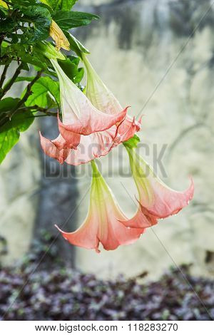 Closeup datura (angel trumpet) flower in nature.