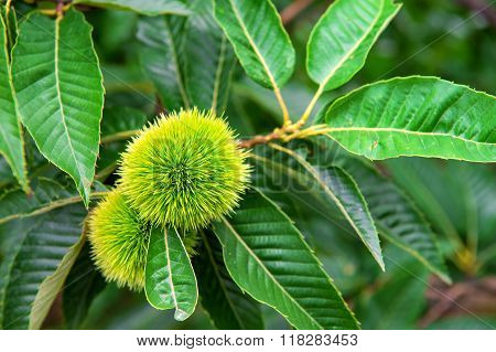 Chestnut (castanea Fruits)