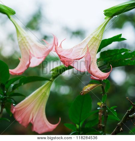 Closeup datura (angel trumpet) flower in nature