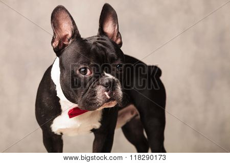 portrait of curious french bulldog puppy wearing a red bowtie in gray studio background