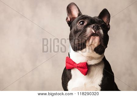 cute close portrait black and white french bulldog wearing a red bowtie while posing looking up