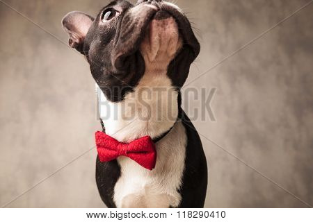 cute black and white french bulldog wearing a red bowtie looking up in gray studio background