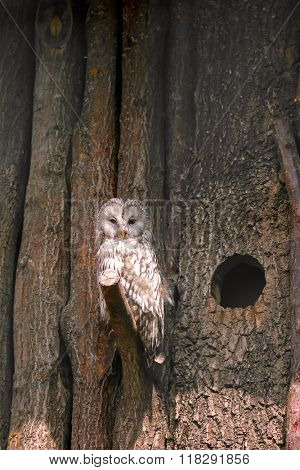 An Ural Owl (Strix uralensis) perching on wooden tree branch