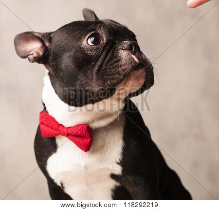 elegant french bulldog wearing a red bowtie while posing looking away at a finger in gray studio background