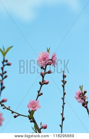 Pink Chinese Plum Flowers