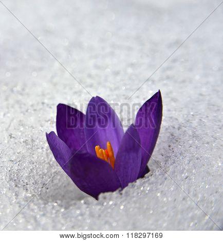 Crocus In Snow_
