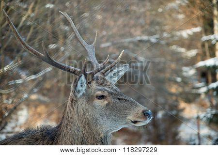 Deer  Half Face
