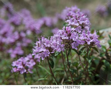 Several Thyme Flowers