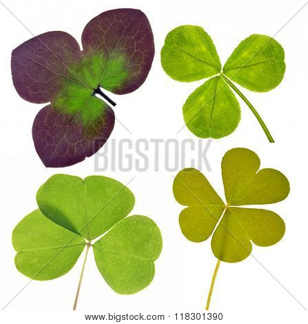 four trefoil leaves collection isolated on white